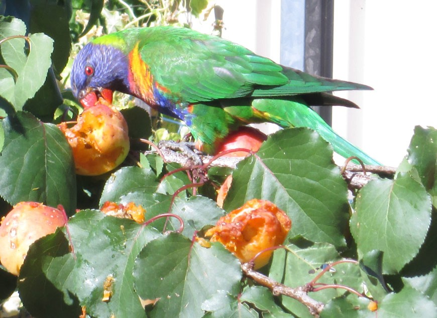 Lorikeets in the apricot tree